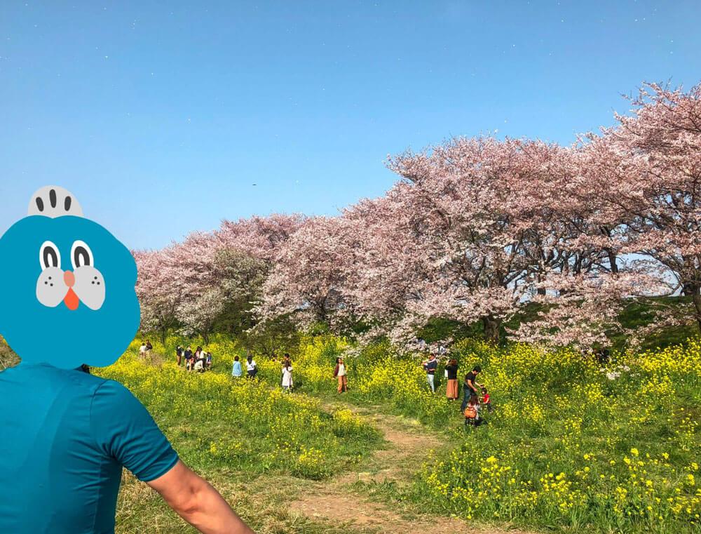 さくら堤公園_桜と菜の花